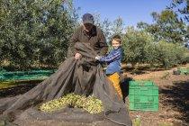 Uomo anziano e nipote che raccolgono olive insieme nel frutteto — Foto stock