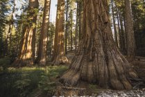 USA, California, Yosemite National Park, Mariposa, sequoias — Stock Photo