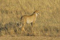 Südafrika, kalahari grenzüberschreitender park, gepard, acinonyx jubatus — Stockfoto