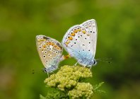Albania, Parque Nacional Valbona, mariposas azules comunes copulando - foto de stock