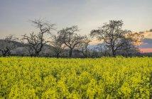 Germania, Sassonia-Anhalt, Wernigerode, campo di colza e ciliegi in fiore la sera — Foto stock