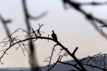 Голубь сидит на мертвом дереве — стоковое фото