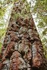 Chili, Los Sauces, Nahuelbuta Nationalpark, Alercen-Baum — Stockfoto