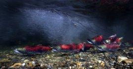 Californie, Colombie-Britannique, Adams River, Saumons rouges, Oncorhynchus nerka — Photo de stock