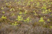 Germany, North Rhine-Westphalia, Muensterland, Westruper Heide, Hohe Mark Nature Park, spruce seedlings — Stock Photo