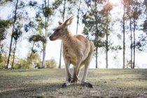 Australia, Brisbane, portrait of kangaroo — Stock Photo