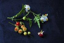 Tomates, feuilles et fleurs de morelle collantes sur fond sombre — Photo de stock