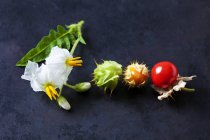 Sticky nightshade tomatoes, leaves and blossoms on dark ground — Stock Photo