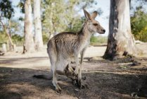 Australia, Brisbane, female kangaroo with baby in pouch — Stock Photo