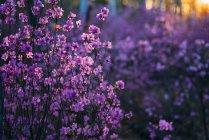 Flores silvestres rosadas al atardecer - foto de stock