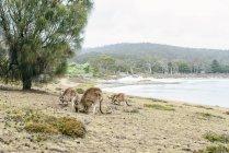 Australia, Tasmania, three foraging kangaroos — Stock Photo