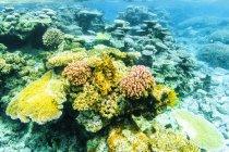 Australie, Queensland, Grande barrière de corail, coraux, gros plan — Photo de stock