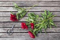 Peonie rosse e forbici sul tavolo da giardino — Foto stock