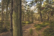 Germany, Mecklenburg-Western Pomerania, Darss, forest path and pine trees with incisions for tapping resin — Stock Photo