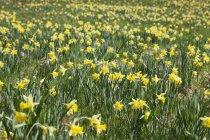 Germany, North Rhine-Westphalia, High Fens Eifel Nature Park, daffodils in spring — Stock Photo