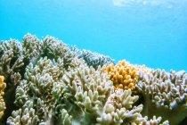 Australia, Queensland, Gran Barrera de Coral, Corales, de cerca - foto de stock