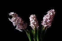 Tres jacintos de jardín rosa frente al fondo negro - foto de stock
