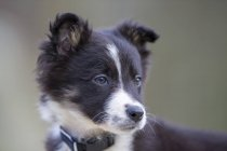 Retrato de Border Collie cachorro - foto de stock