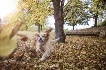 Золотой ретривер, играющий с осенними листьями — стоковое фото