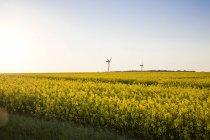 Alemania, Ruegen, Cabo Arkona, ruedas de viento en el campo de violación - foto de stock