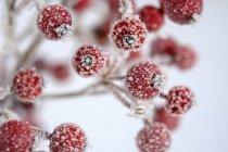 Bayas rojas de acebo común, Ilex aquifolium en invierno, cubiertas de heladas - foto de stock