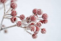 Red berries of common holly, Ilex aquifolium in winter, frost-covered — Stock Photo