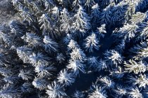 Aerial view of spruce trees in winter — Stock Photo