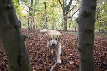 Золотистий ретрівер працює в осінньому лісі — стокове фото