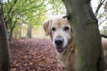 Portrait of Golden Retriever in autumnal nature — Stock Photo
