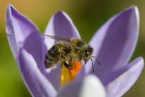 Ape del miele, Apis, su crocus — Foto stock