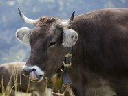 Allemagne, Allgaeu, bovins bruns, taureau avec cloche — Photo de stock