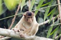 Малайзия, Борнео, Реабилитационный центр Сепилок Орангутан, юный северный свинохвостый макак на стволе дерева — стоковое фото