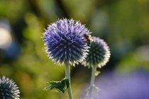 Медовая пчела, Apis mellifera, на южном глобусе, Echinops ritro — стоковое фото