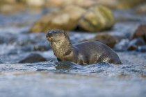 Regno Unito; Scozia, lontra eurasiatica — Foto stock