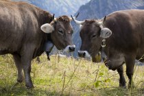 Германия, Allgaeu, коричневый скот, быки с колоколом — стоковое фото
