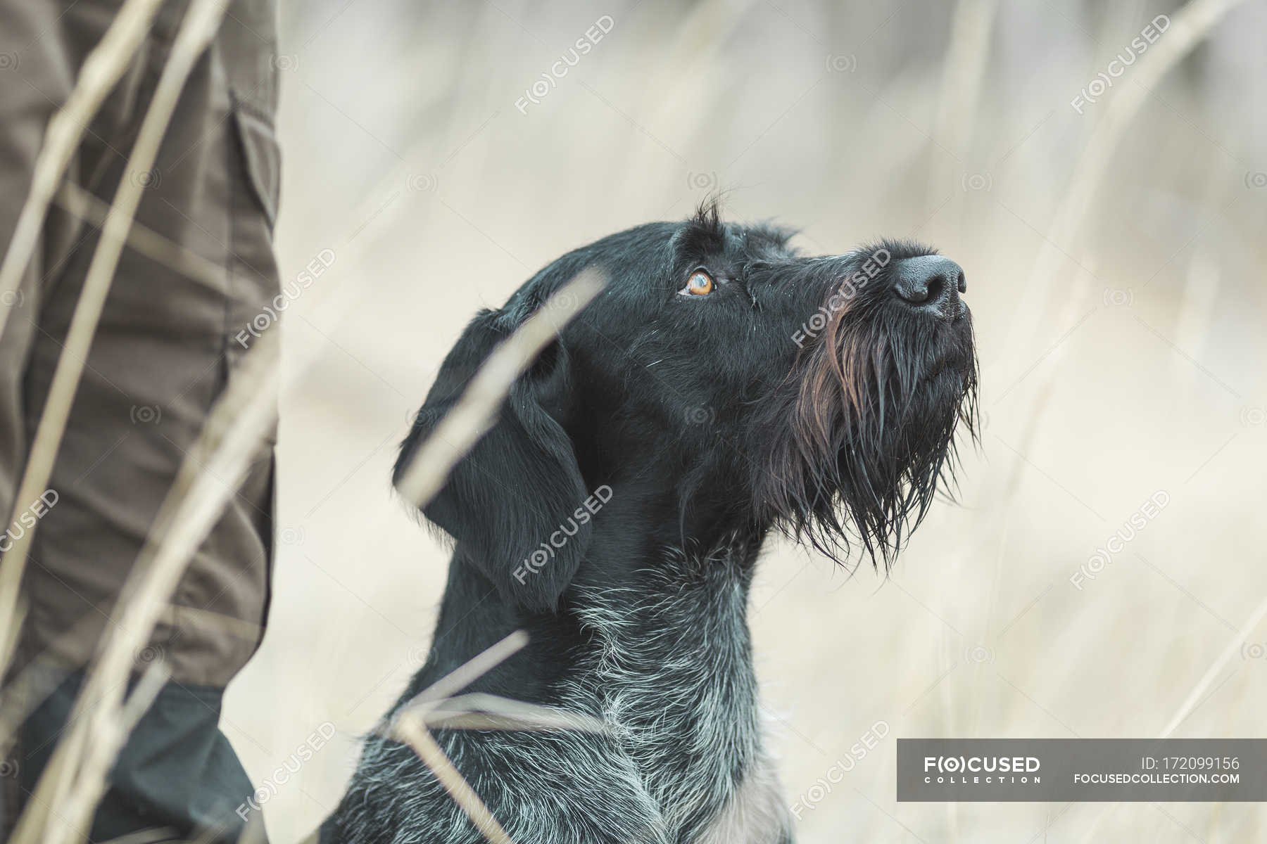 Close-up of German Wirehaired Pointer looking up in field — Stock ...