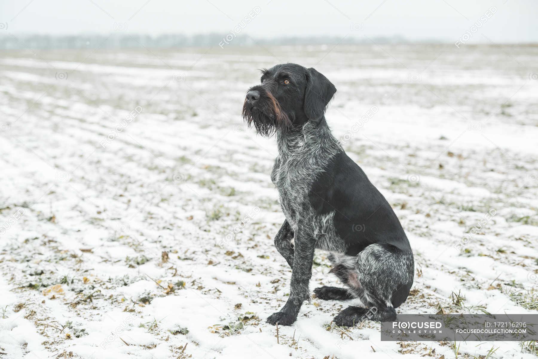Wunderbar Wirehaired Terrier Mix Welpen Temperament Ideen ...