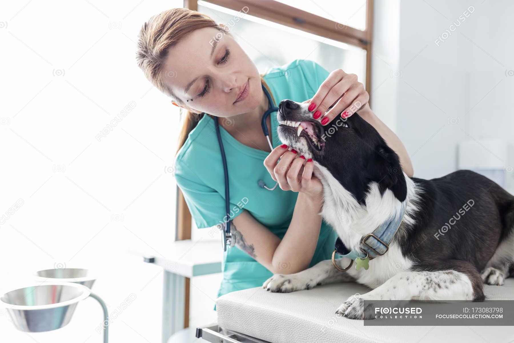 Veterinarian Assistant Examining Dog In Veterinary Clinic Stock