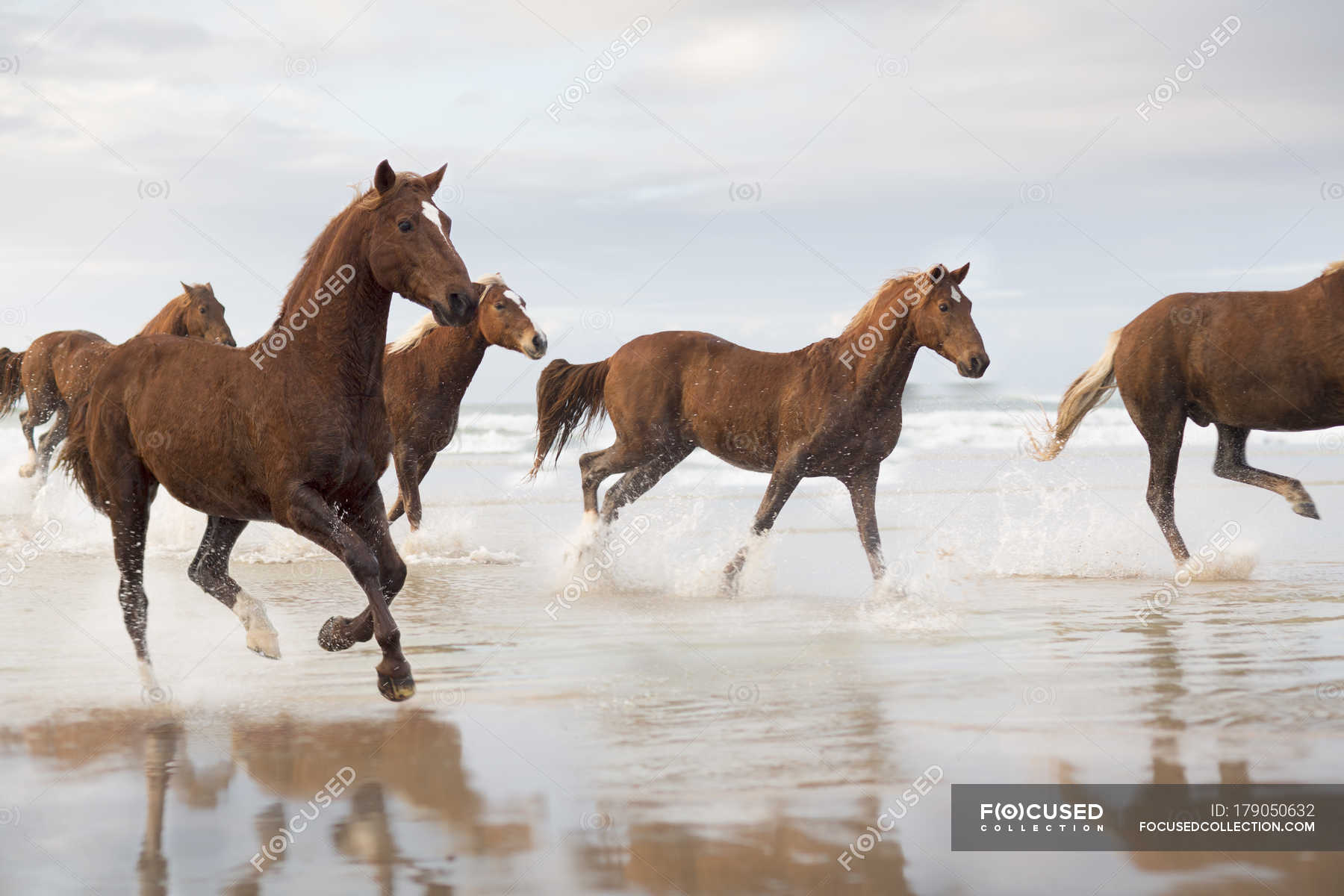 Brown Horses Running On A Beach Stock Farming Moving Stock Photo 179050632
