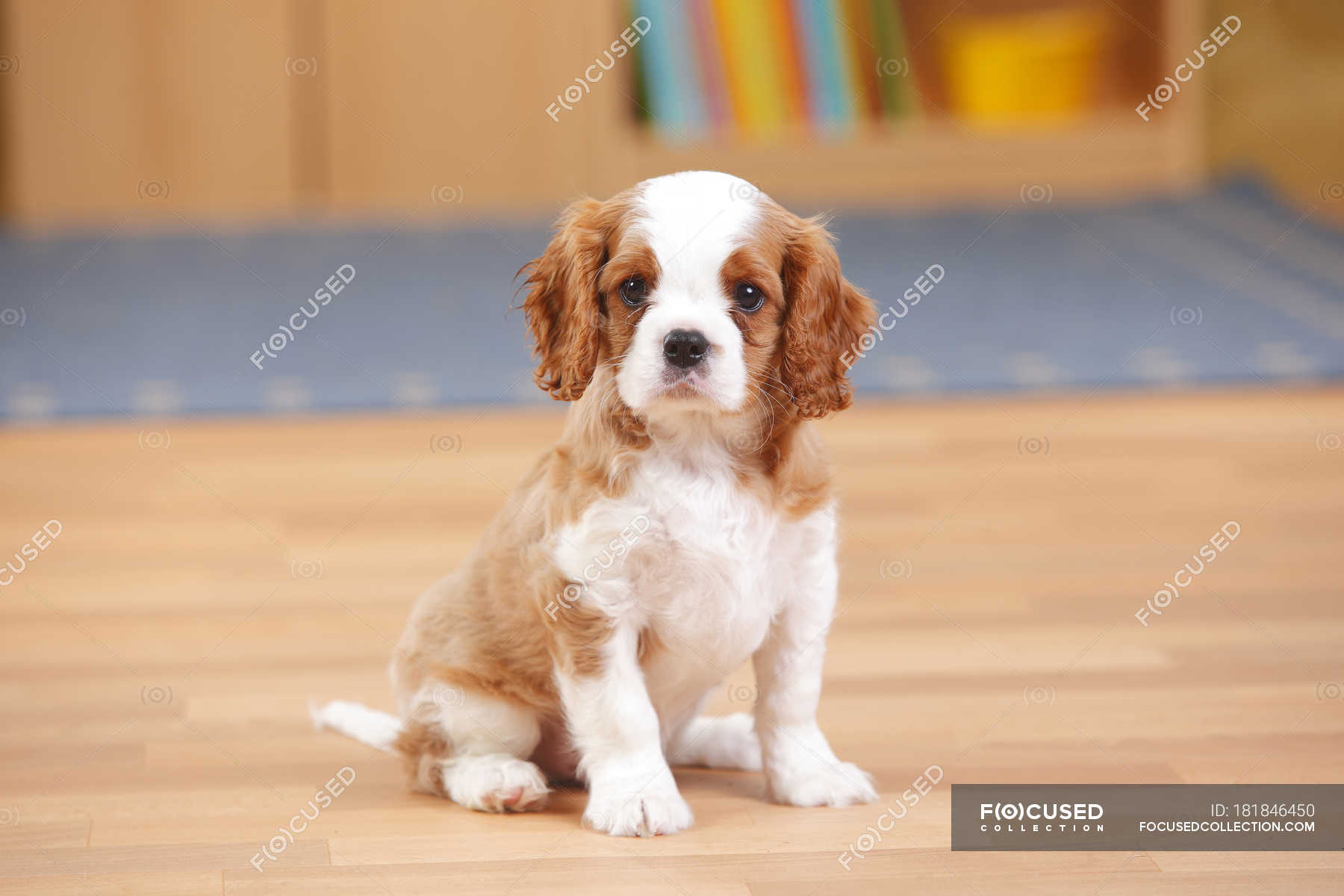 Cavalier King Charles Spaniel Puppy Sitting On Wooden Floor Cute Doggy Stock Photo 181846450