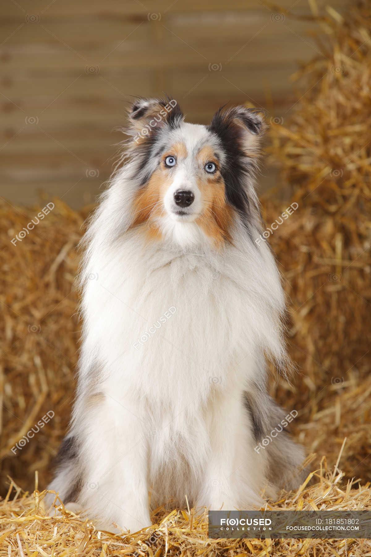 Blue Merle Shetland Sheepdog Sitting On