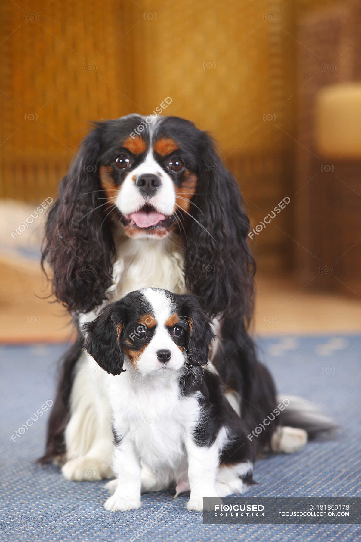 Cavalier King Charles Spaniel With Puppy Sitting On Carpet Furry Daytime Stock Photo 181869178