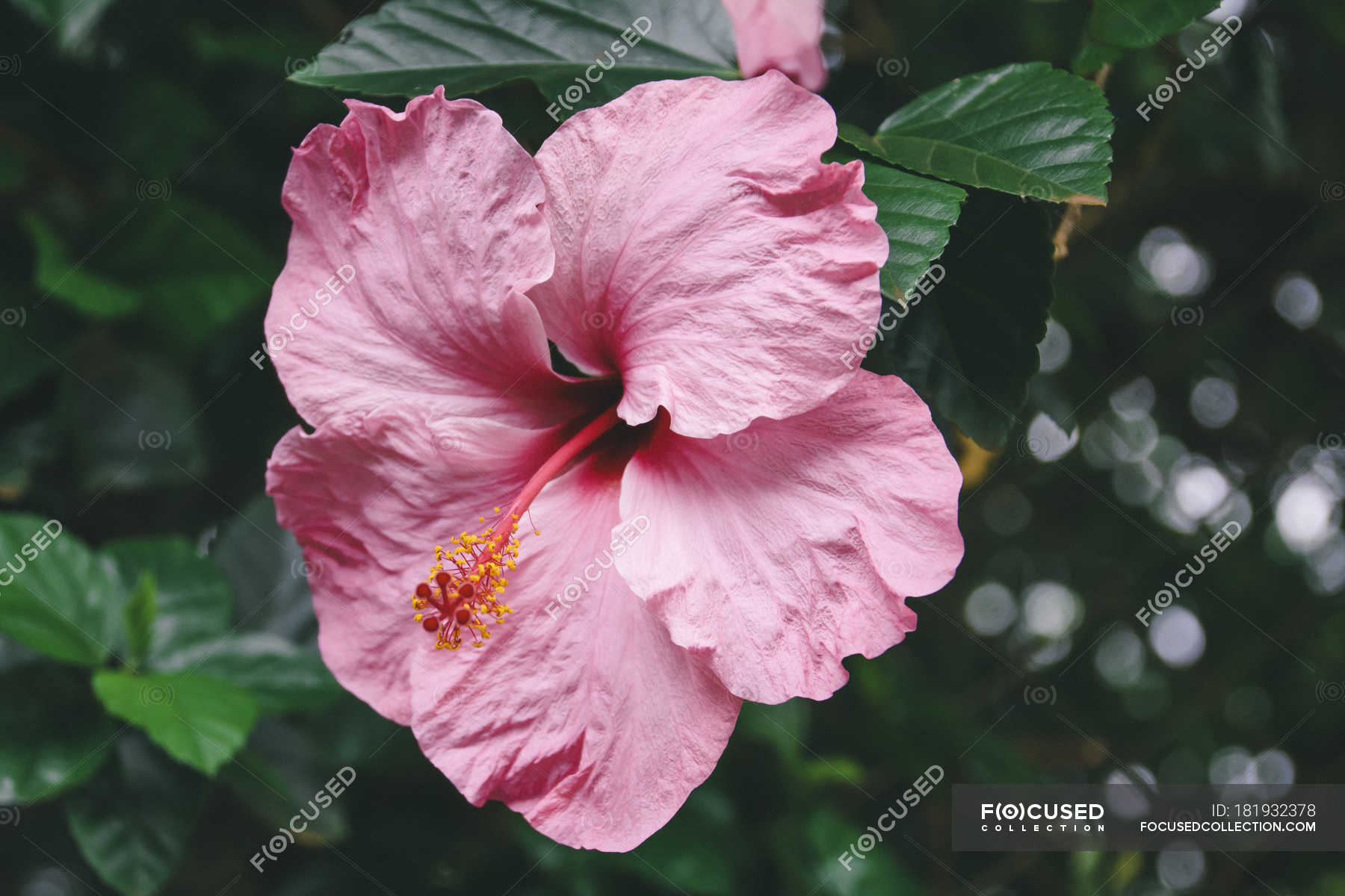 Close Up Of Tropical Pink Flower Growing On Plant Stock Photo