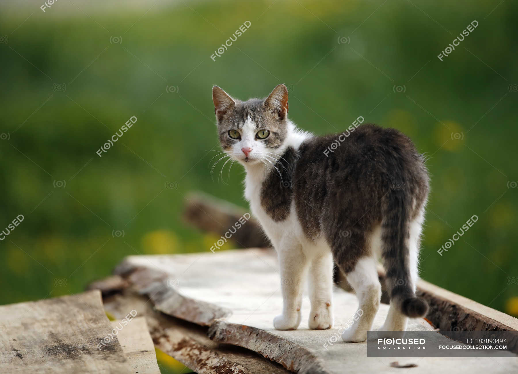 Grey White Tabby Cat Breed Adorable Stock Photo 183893494