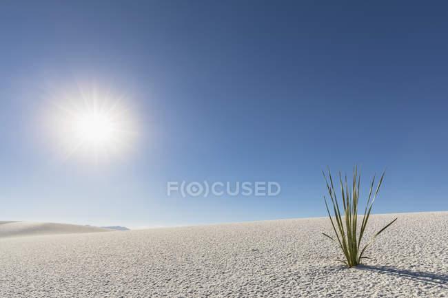 Plant growing in desert dune — Stock Photo