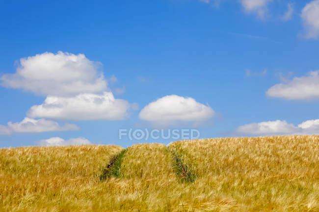 Поля зерна з треками влітку — стокове фото