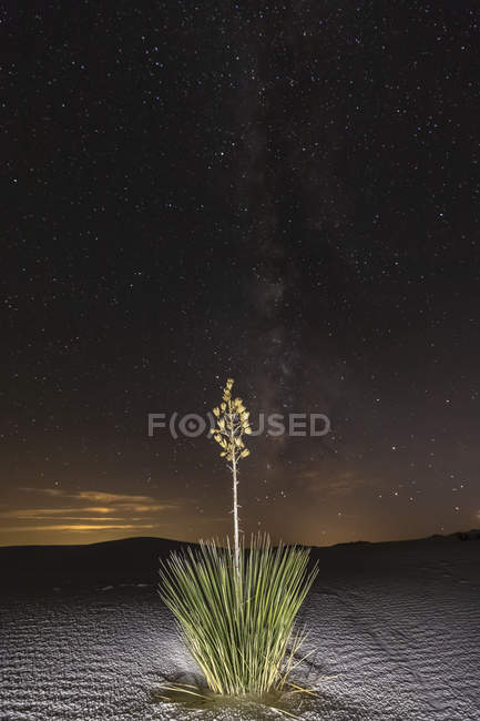 Soap trees at night in Chihuahua Desert — Stock Photo
