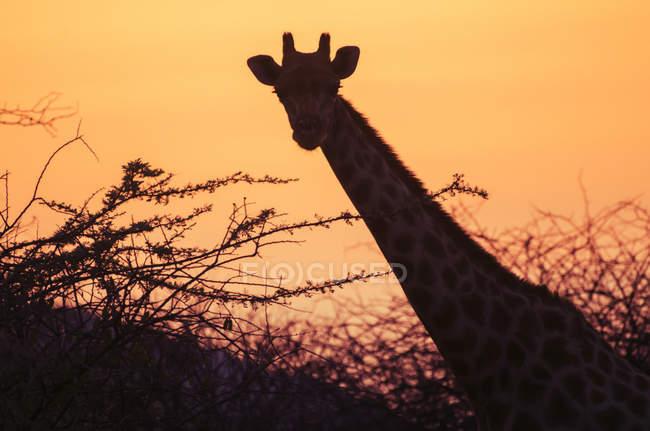 Giraffe silhouette at sunset — Stock Photo