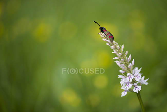 Close-up de seis-ponto Burnet Blossom — Fotografia de Stock