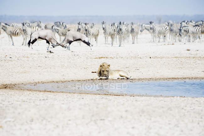 Löwe am Wasserloch mit Herde von Zebras und Oryx — Stockfoto